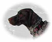 German shorthaired pointer wearing pinch collar